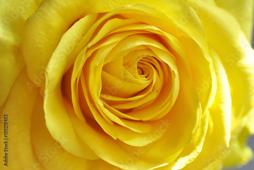 yellow rose - 188218483