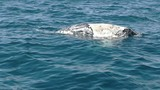 a 60p clip of a dead humpback whale calf floating in the ocean at merimbula- originally recorded at 120fps - 188222220