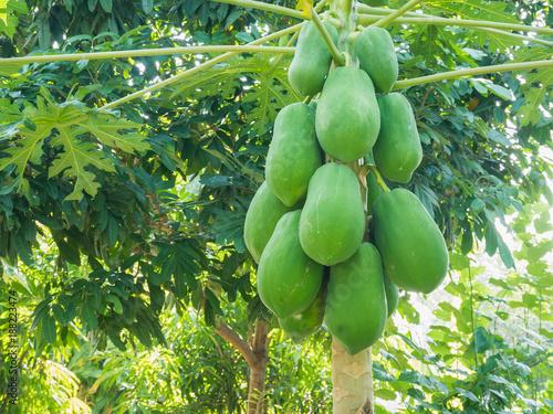 organic green papaya fruits on tree - 188223474