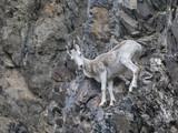 Dall sheep and lambs navigate the steep slopes - 188230021
