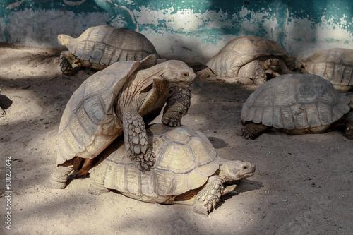 Aluminium Schildpad Tortoise couples are mixed.