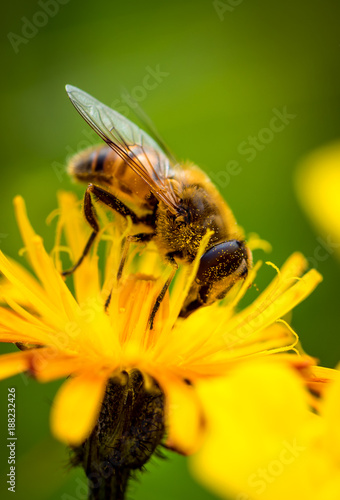 Wasp collects nectar from flower crepis alpina - 188232426