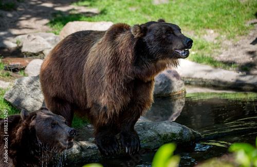 Foto op Canvas Natuur Brown bear (Ursus arctos)