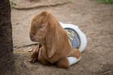 Young goat sleeping - 188233614