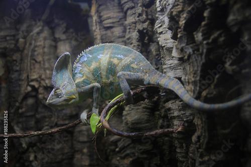 Fotobehang Kameleon Jemenchamäleon (Chamaeleo calyptratus) auf Baum