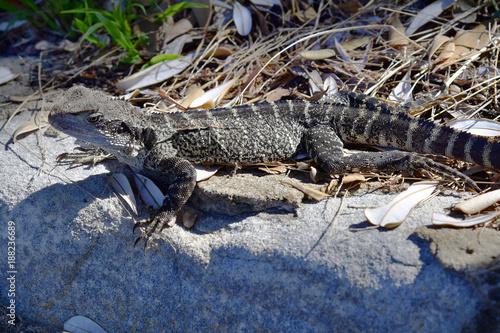 Papiers peints Sydney Australia, Zoology, Reptile