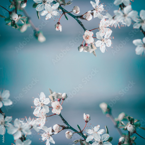 Foto Murales Spring frame background with white cherry blossom on blue background, place for text. Floral springtime nature