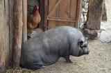 Hängebauchschwein mit Huhn auf einem Bauernhof - 188247689