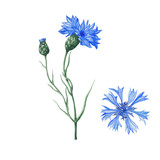 Botanical illustration of watercolor cornflowers - 188256647