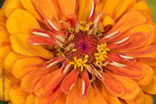 Nahaufnahme einer Dahlienblüte - 188257024