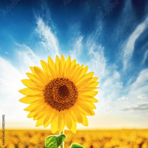 Foto op Canvas Meloen sunflower on field in sunset time