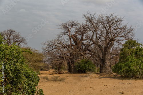 Papiers peints Baobab Baobabbaum (Adansonia digitata) - Afrikanischer Affenbrotbaum