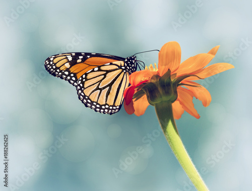 Monarch butterfly (Danaus plexippus) feeding on Mexican sunflower. Blue sky background with vintage filter effects. - 188262625