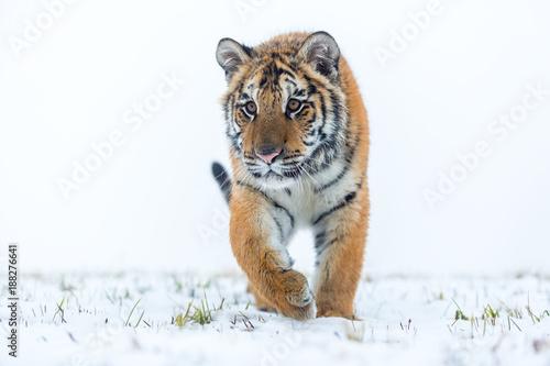 Fotobehang Tijger siberian tiger in meadow