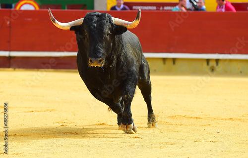 bull in spain