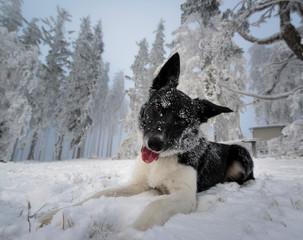 Border Collie Portrait im Schnee