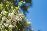 Closeup of lovely flower of white acacia against the blue sky in the spring - 188279888
