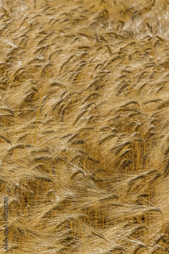 barley field before the harvest - 188298265