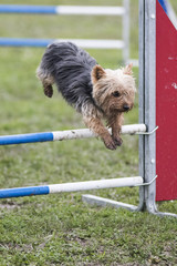 yorkshire en agility
