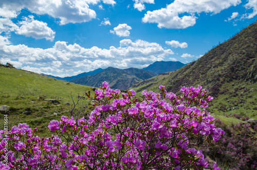 Foto Murales Flowering rhododendron Ledebour close up on sky background. Pink Spring flowers of the Western Siberia. Altai Mountains. maralnik, Ledum