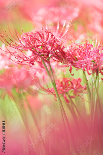 Staande foto Candy roze Close - up Red spider lily in autumn