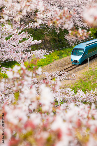 Fototapeta Japan train in sakura cherry blossom seasom at Yamakita Town , Kanagawa prefecture