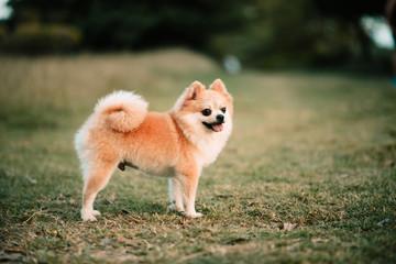 Cute pomeranian dog in the public park