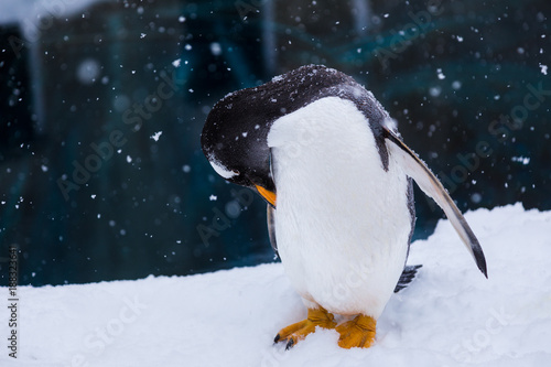 Fotobehang Pinguin Penguin in a Zoo standing in snow scratching himself with his beak