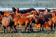 A herd of wild horses is grazing near the lake on an island in Danube Biosphere Reserve - 188328212