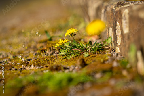 Buttercups growing in the gaps of a stone stair - 188330424