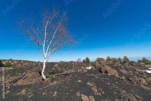 Betula aetnensis in the park of the Etna volcano in Sicily on old eruption - 188332439