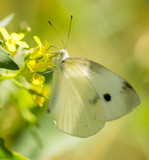 Butterfly on a yellow flower in the nature - 188335664