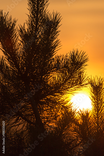 Branches of a coniferous tree at sunset - 188335620