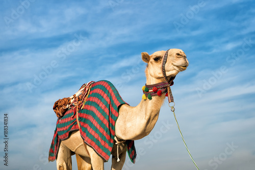 Tuinposter Dubai camel against blue sky