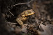 Bufo bufo. Expanded throughout Europe. Asia. Japan. Morocco and Algeria. In Tibet about 3000m. The wild nature of the Czech Republic. Spring nature. From Frog Life. Free nature. European nature. Frog
