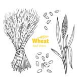 Wheat hand drawn illustration - 188355697
