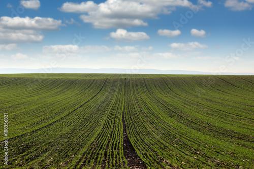 Foto Murales green wheat field landscape spring season