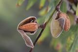 Reife Mandeln Früchte am Baum, Südtirol, Italien, Europa, Serie 12 von 16 - 188359254