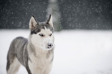 Siberian husky dog with snowy nose