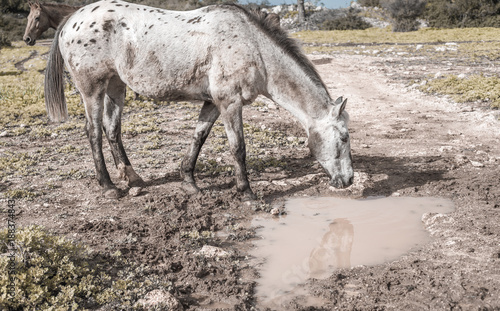 Reflection of white horse in a puddle in the meadow