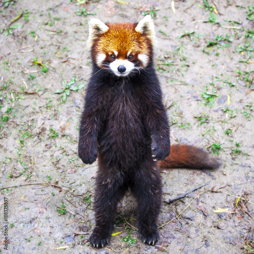 Fotobehang Panda Red Panda. Red Panda stands on its hind legs.Red Panda closeup.