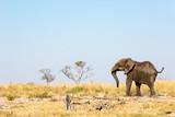Botswana, wild elephant washing at sunset near the Okavango Delta, Africa