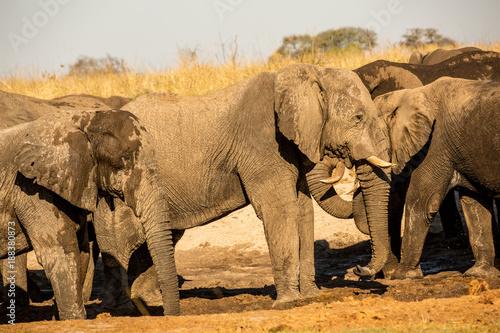 Foto Murales Botswana, wild elephants at sunset near the Okavango Delta, Africa