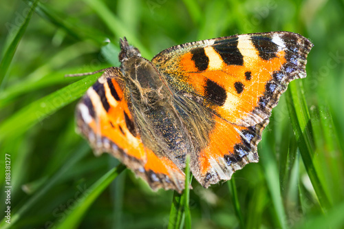 Butterfly sitting in the grass (small tortoiseshell - Aglais urticae)