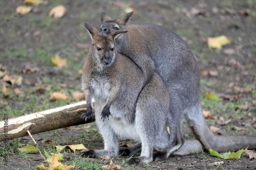 Fotobehang Kangoeroe Mating Bennet's Wallabies