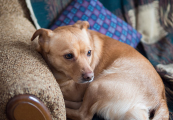 home cute brown dog is lying on the sofa curled up. expressive eyes. waiting for the hostess and sad