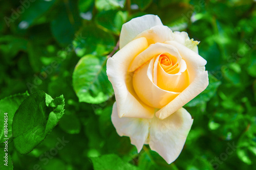 Foto Murales yellow rose on green leavesnature background