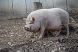 Hausschwein auf Acker