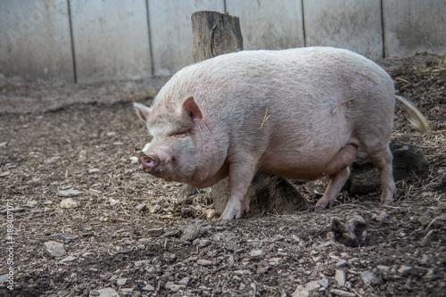 Hausschwein auf Acker - 188407071