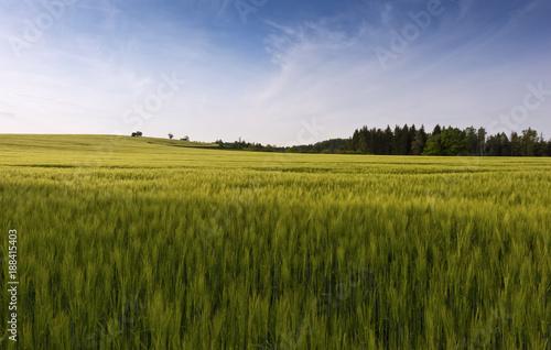 Foto Murales Green cornfield in spring